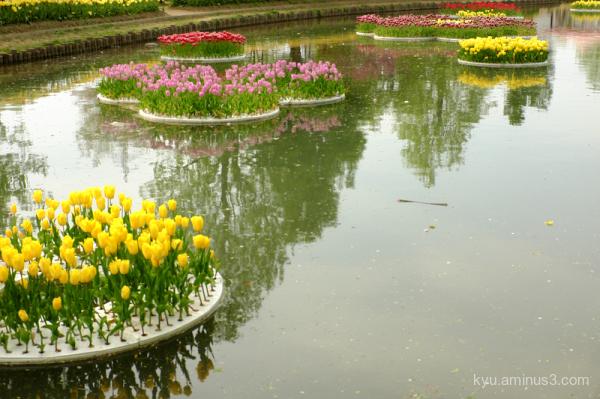 spring tulip water reflections Tonami Tonyama