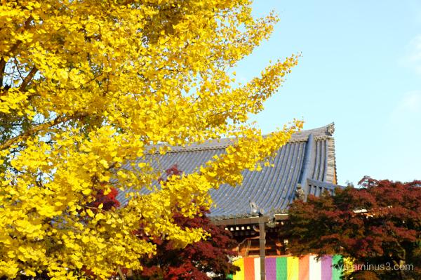 autumn Ginkgo Chishakuin Temple Kyoto