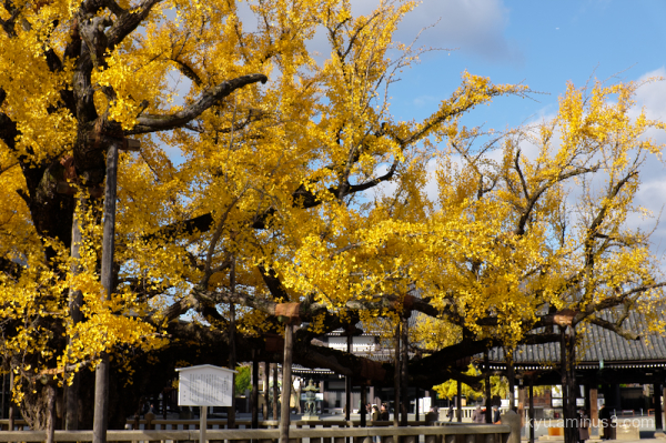 Ginkgo autumn  Nishihonganji temple Kyoto