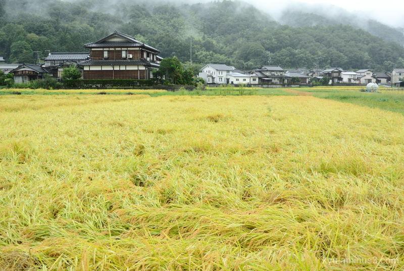 autumn rice-paddy Kyoto