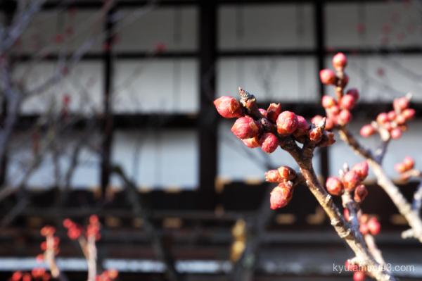 spring plum buds Gosho temple Kyoto