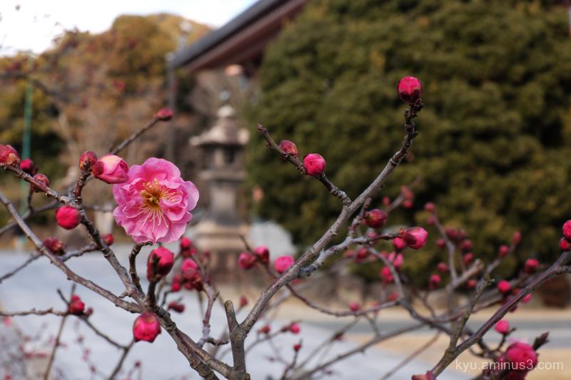 spring plum blossom Chishakuin temple Kyoto