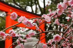 Japanese-plum blooming Jyonangu Shrine