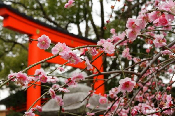 Japanese-plum blooming Jyonangu Shrine