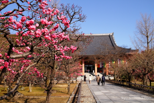 spring Japanese plum blossom Chishakuin temple Kyo