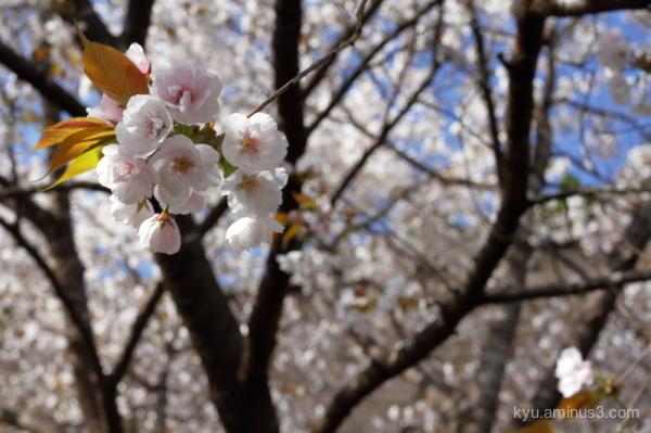 spring cherry-blossom Jyoshokoji temple Kyoto