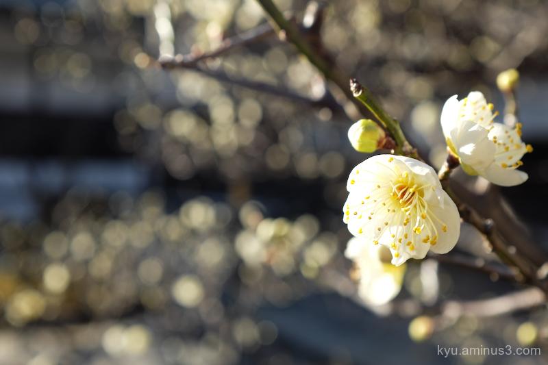 spring Japanese-plum blossom Gosho Kyoto