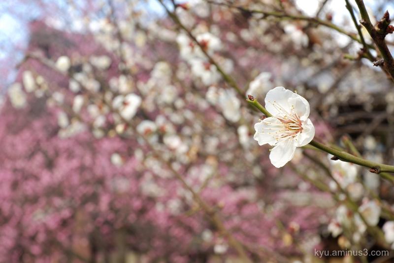 Japanese-plum blossom Koshoji temple Kyoto