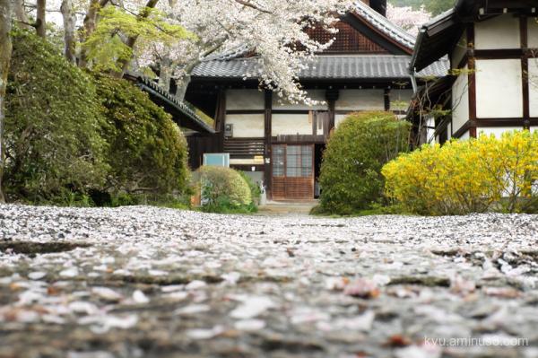 spring cherry-blossom Bishamondo temple Kyoto