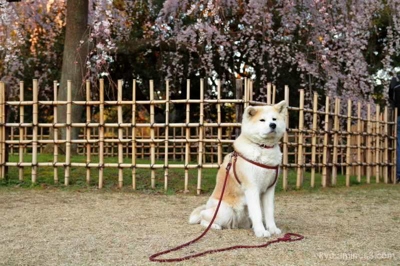 dog cherry-blossoms drooping-cherry Gosho Kyoto