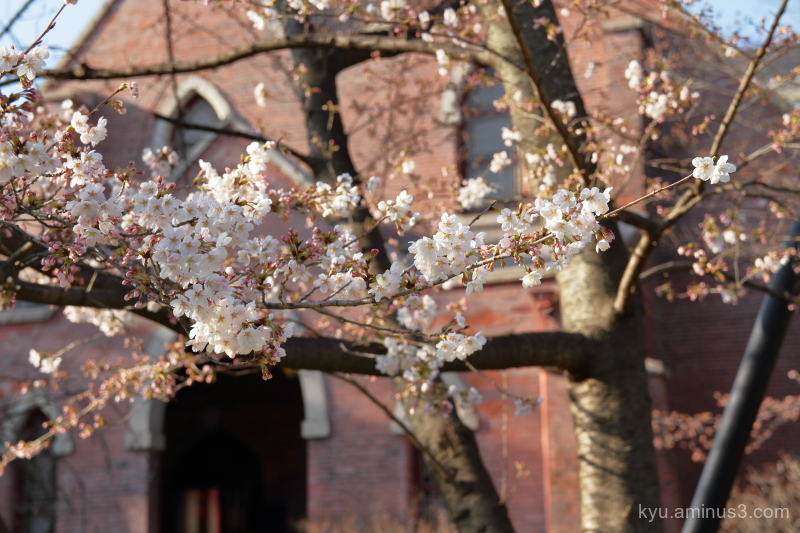 Blooming cherry-blossoms university Kyoto