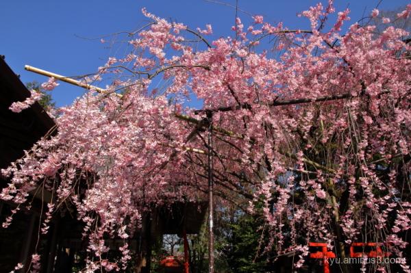 drooping-cherry Suikatenmangu shrine Kyoto