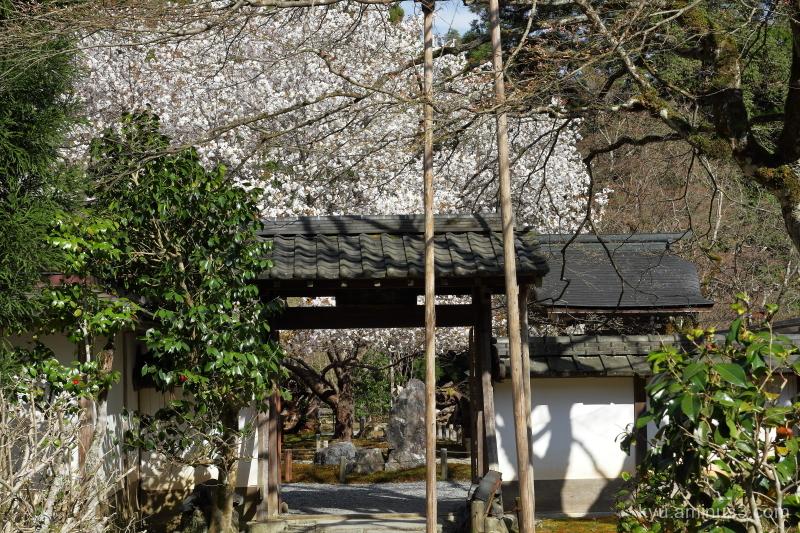 cherry-blossoms Jyoshokoji temple Kyoto