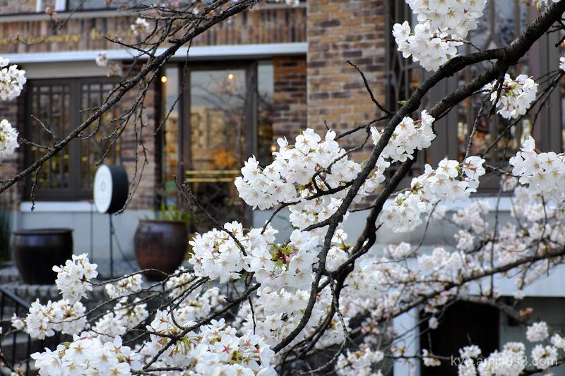 Blooming cherry-blossoms cafe Takasegawa Kyoto