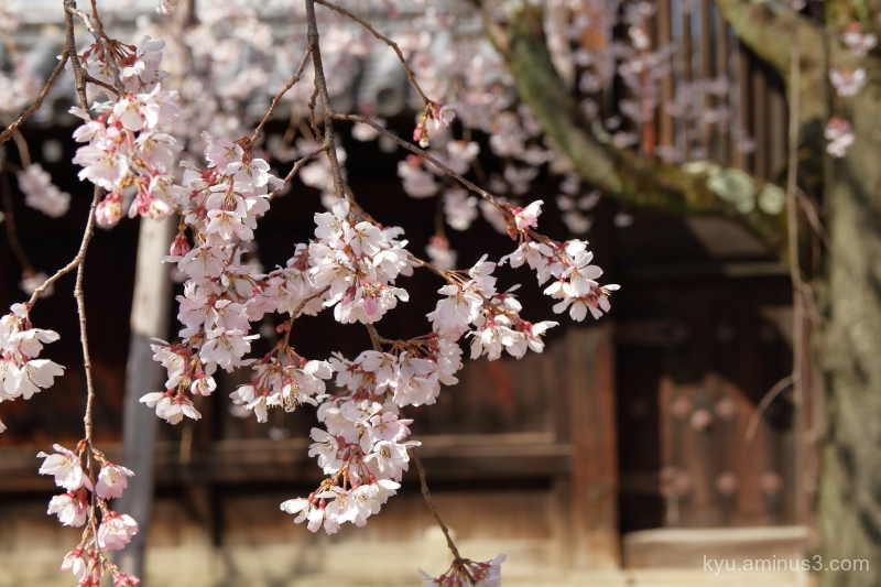 drooping-cherry blossoms Myokakuji temple Kyoto