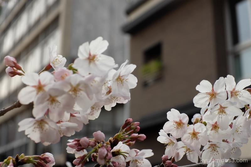 cherry-blossoms Takasegawa Kyoto