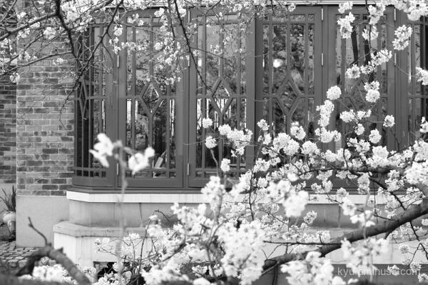 cherry-blossoms cafe Kyoto