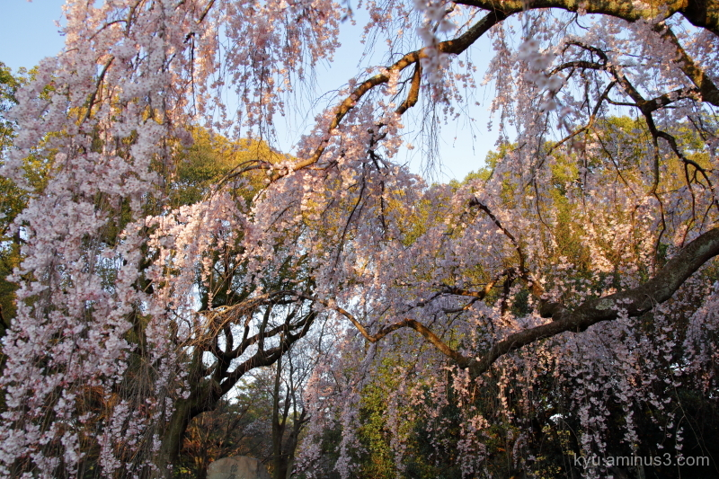 drooping-cherry blossoms Gosho Kyoto