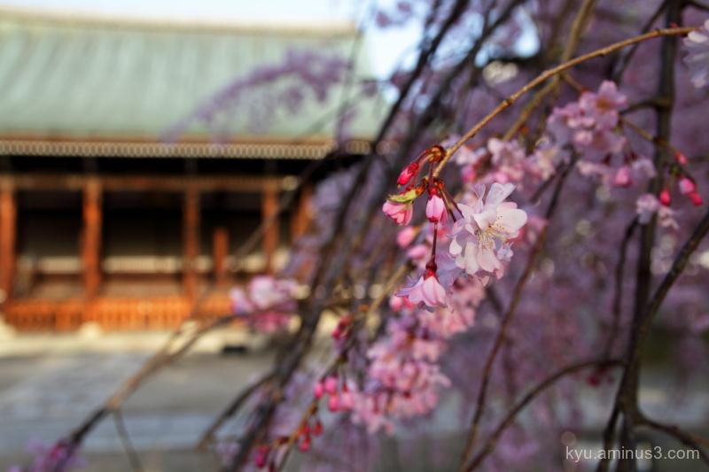 drooping-cherry blossoms myokenji temple Kyoto
