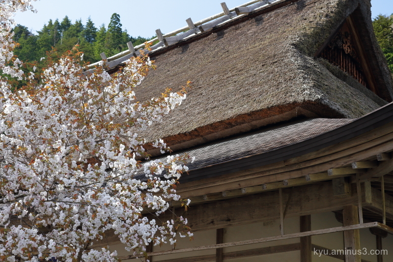 Blooming cherry-blossoms Jyoshokoji temple Kyoto