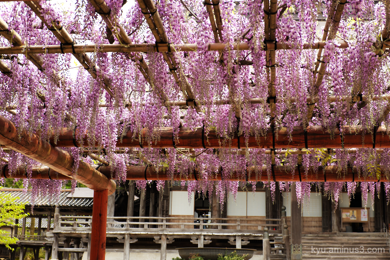 blooming Japanese-wisteria Inami Toyama