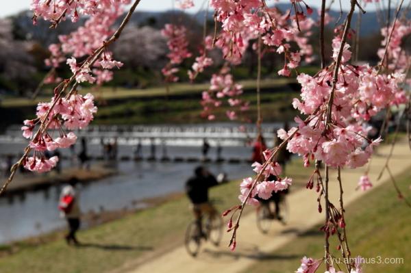 cherry-blossoms Hakaraginomichi Kamo-river Kyoto