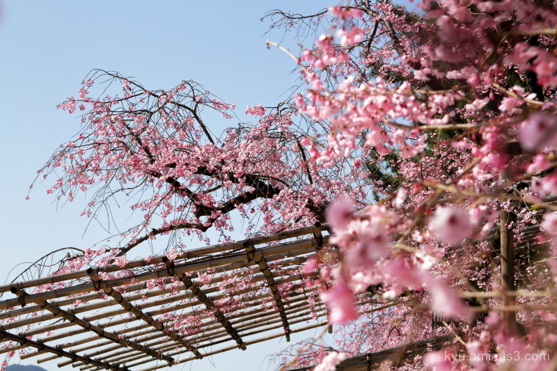 cherry-blossoms Nakaraginomichi Kano-river kyoto