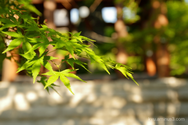 green-maple Chishakuin temple Kyoto