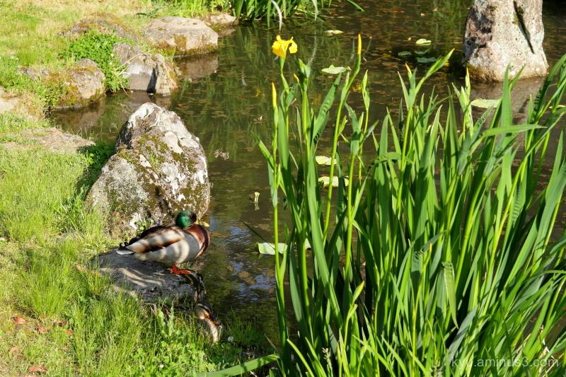 ducks Chishakuin temple Kyoto