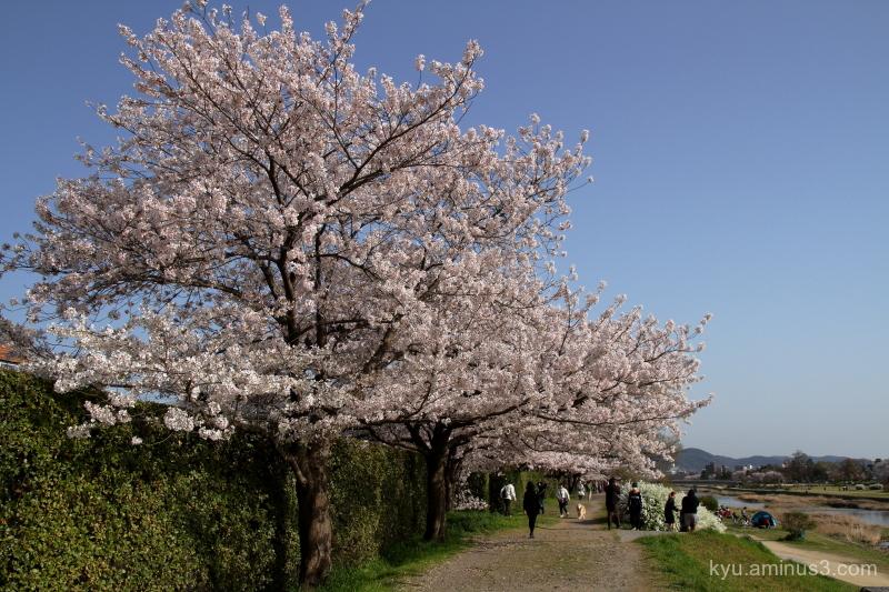 cherry-blossoms Kamo-river Kyoto