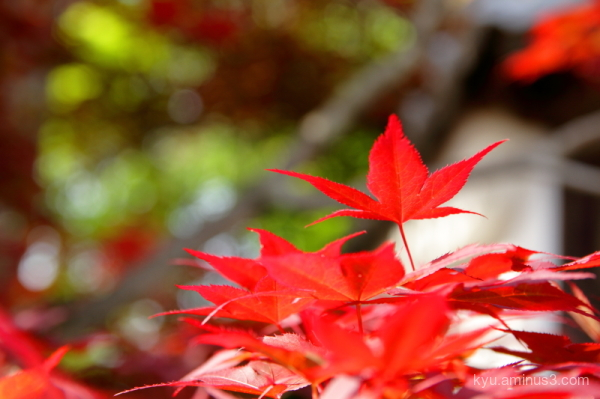 red-maple spring Komyoin temple Kyoto