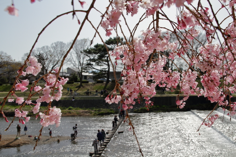 cherry-blossoms Nakaraginomichi Kamo-river kyoto