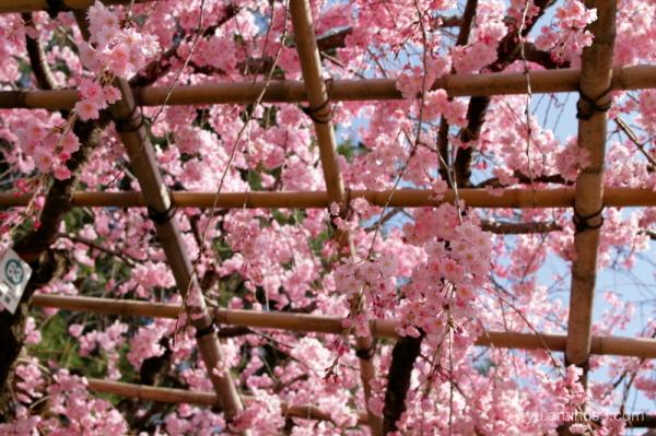 drooping-cherry Nakaraginomichi Kamo-river Kyoto