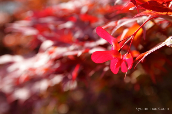 spring red-maple Komyoin temple Kyoto