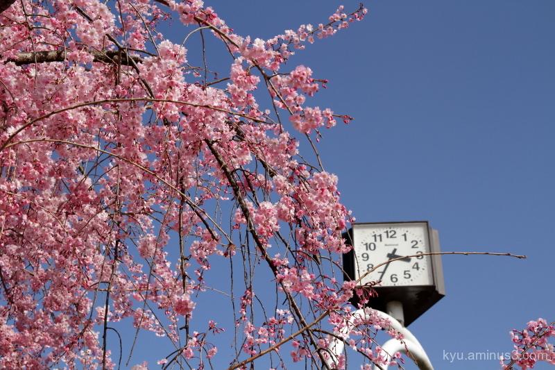 spring 3:35 cherry-blossoms Nakaraginomichi Kyoto