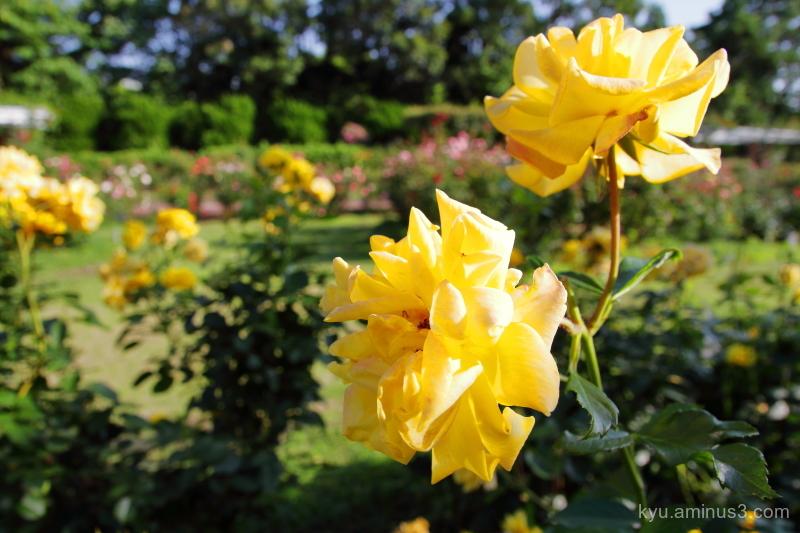 yellow-roses Botanical-garden Kyoto