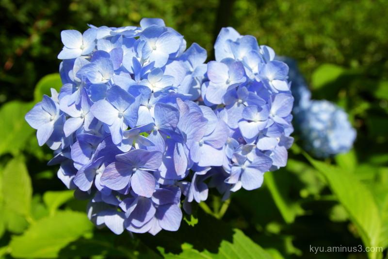 hydrangea flower botanical-garden Kyoto 7D