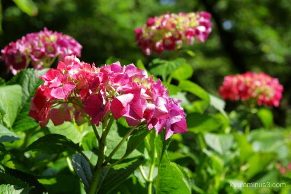 hydrangea flower botanical-garden Kyoto