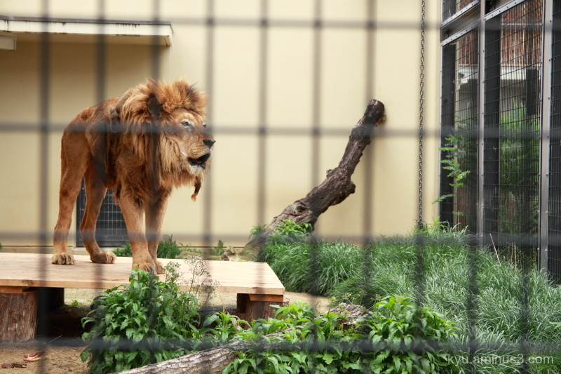 lion zoo Kyoto