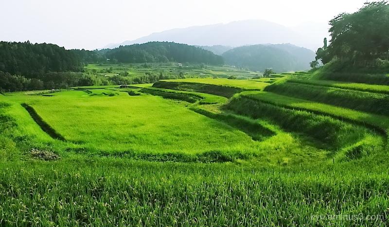 terraced-paddy Ohgi Shiga