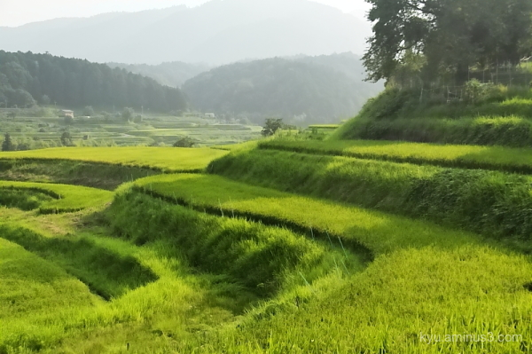 terraced-paddy Ohgi Shiga
