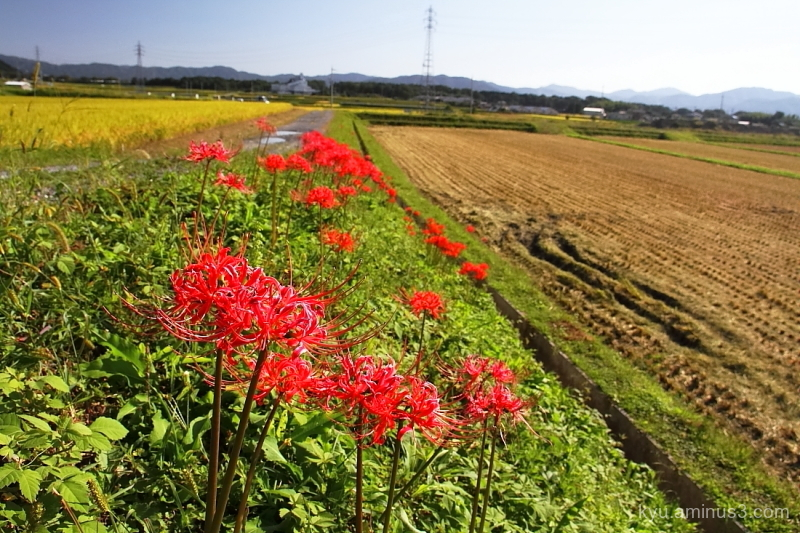 early-autumn rice-paddy Kyoto