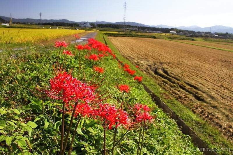 early-autumn rice-paddy Kyoto