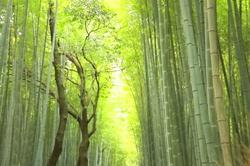 bamboo-grove Sagano Kyoto