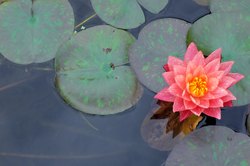 water-lily botanical-garden Kyoto