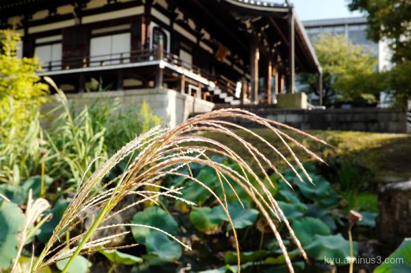 Japanese-pampas grass Chishakuin temple Kyoto