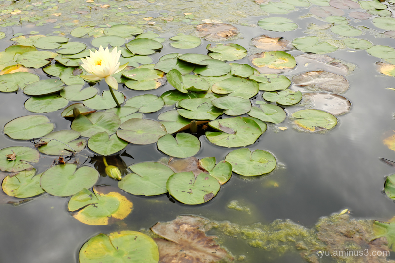 water-lily botanical-garden kyoto
