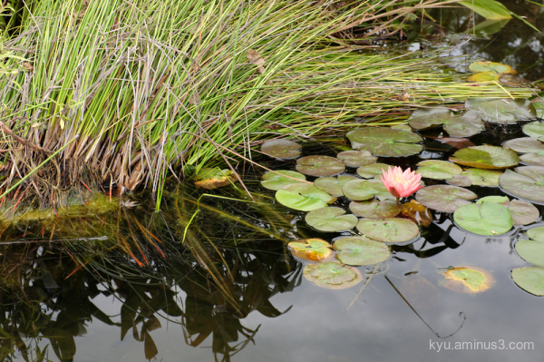 water-lily botanical garden kyoto