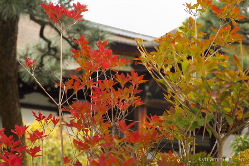 autumn red-maple Nishihonganji temple Kyoto