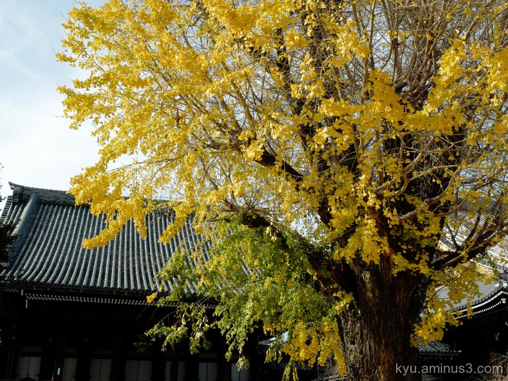 autumn ginkgo Bukkoji temple Kyoto